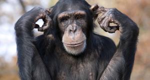 chimp-like-behaviour