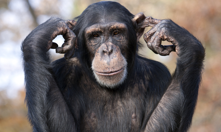 chimp-like-behaviour